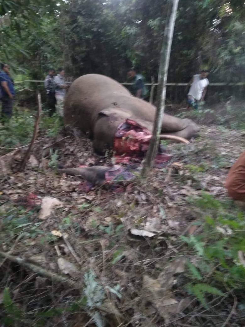 Miris! Gajah Di Temukan Mati Di Kelayang Diduga dibunuh.